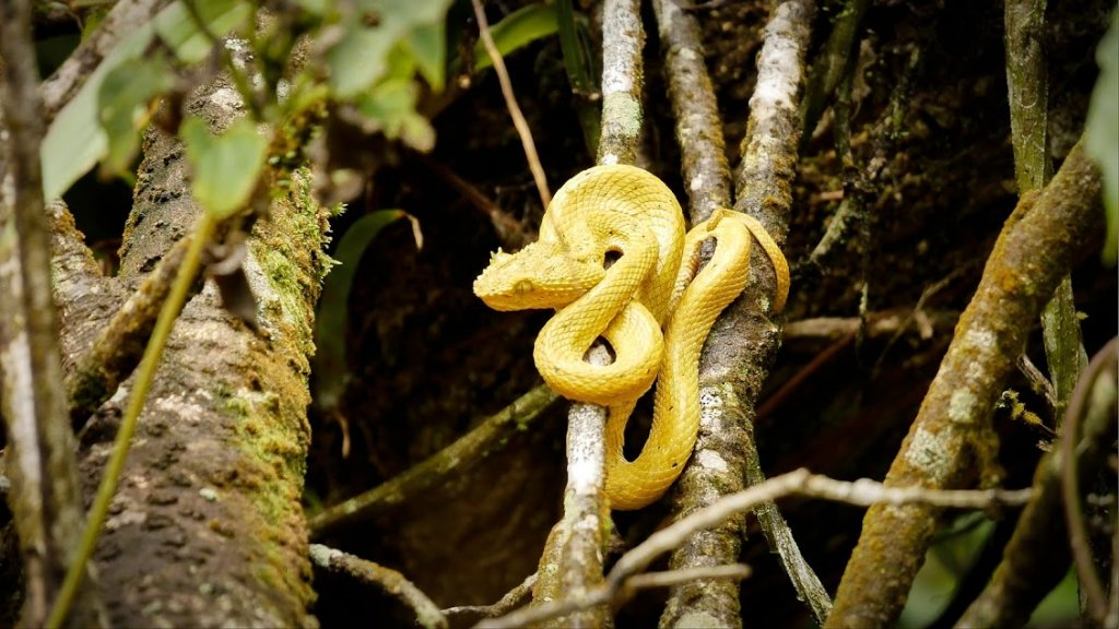 Eyelash Pit Viper at The Arenal Volcano National Park