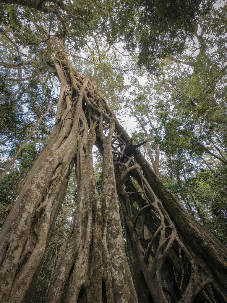 The Ficus Tree - Monteverde